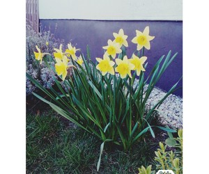 flowers, spring, and daffodile image