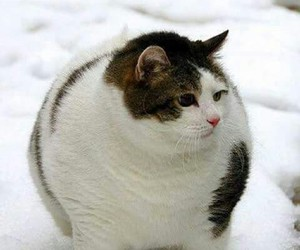 animal, cat, and fat image