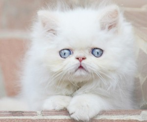 blue eyes, cat, and cats image