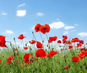 anzac day, field, and flowers image