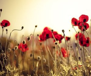 poppy and flowers image