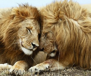 lions, wild, and love image