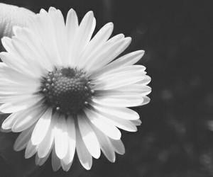 flowers, beautiful, and daisy image