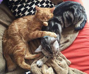 animals, beutiful, and cat image