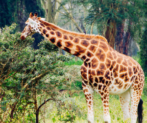 animals, eat, and giraffe image