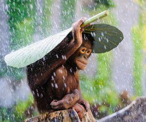 animal, rain, and monkey image