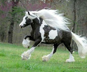 beautiful horses, paint horses, and gypsy vanners image