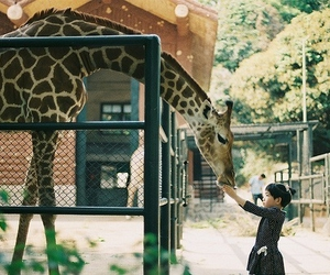 giraffe, animal, and zoo image