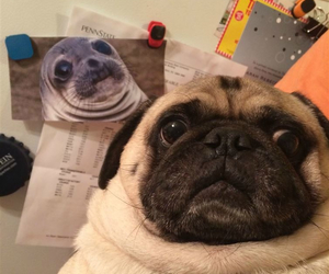 dog, pug, and funny image