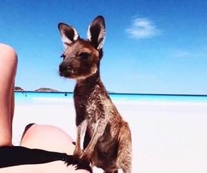 beach, kangaroo, and animal image