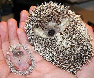 animal, hedgehog, and baby image