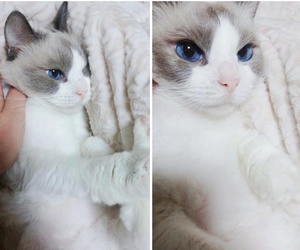 cat, blue, and blue eyes image