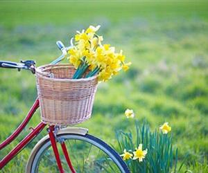 basket, bicycle, and daffodils image
