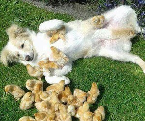 animals, chicks, and dogs image