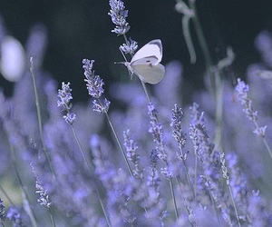 butterfly, lavender, and nature image