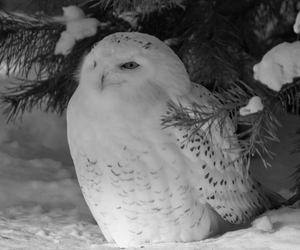 owl, snow, and animal image