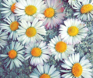 daisy, flowers, and lovely image
