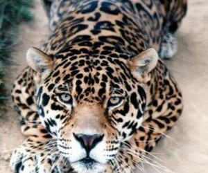 animal, jaguar, and leopard image
