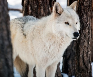 animal, wolf, and photography image
