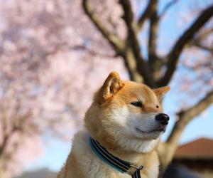 akita, hachiko, and japan image