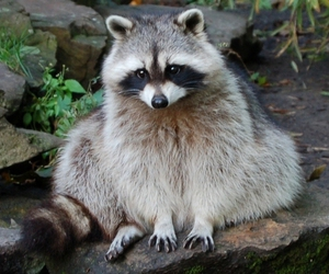 nature, photo, and racoon image