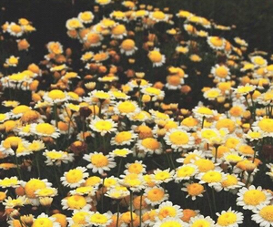 flowers, yellow, and daisy image