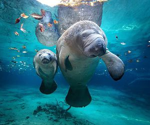 manatee and animal image