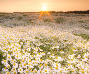 flowers, daisy, and sun image