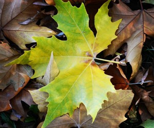 green, leaf, and maple image