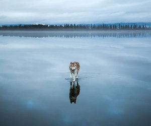 husky, lake, and blue image