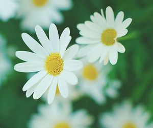 daises, spring, and summer image
