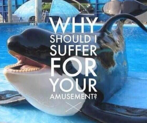 orca, killer whales, and sea world image