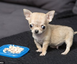 baby animals, cute animals, and chihuahua image