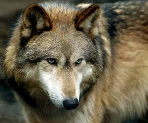 animal, twilight, and wolf image