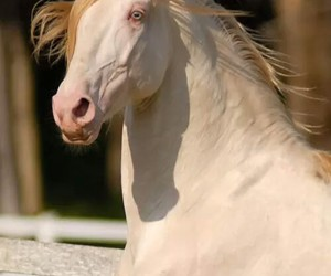 horse and cremello image
