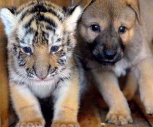 tiger, dog, and animal image