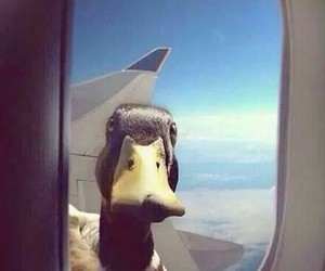 duck, funny, and airplane image