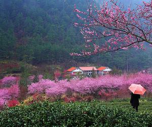 blossom, cherry blossom, and flowers image