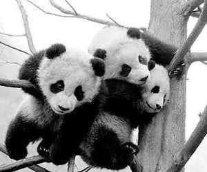 panda and animal image