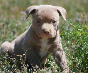 pitbull, puppies, and puppy image