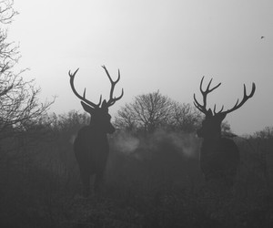 deer, animal, and black and white image