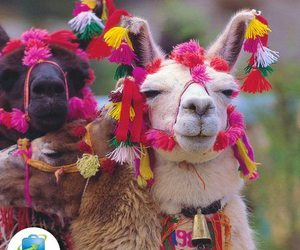 llamas, lovely, and peru image