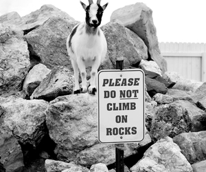 goat, animal, and rock image