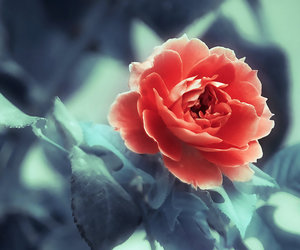 photography, pretty, and flower image