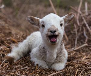 animal and lamb image