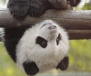 panda, animal, and adorable image