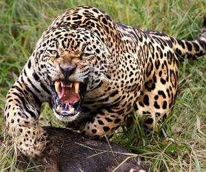 leopard and lunch image