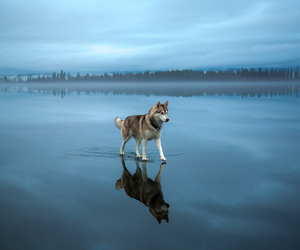 dog, blue, and husky image