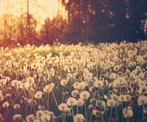 flowers, nature, and dandelion image