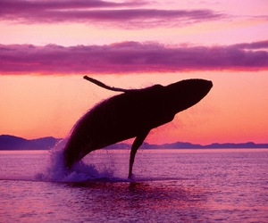 whale and sunset image